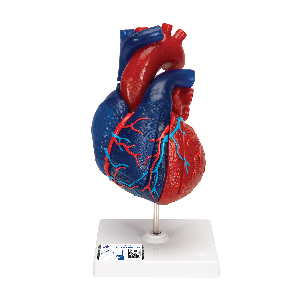 Magnetic Heart Model Life Size 5 Parts 1010007 3b Scientific