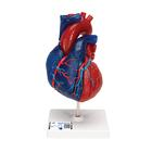 Magnetic Heart model, life-size, 5 parts,G01/1