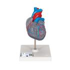 Classic Heart with Conducting System, 2 part, 1019311 [G08/3], Human Heart Models