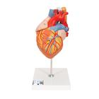 Heart with Esophagus and Trachea, 2 times life size, 5 part,G13