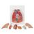Human Lung Model with Larynx, 7 part - 3B Smart Anatomy, 1000270 [G15], Lung Models (Small)
