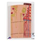 Nephrons and Blood Vessels, 120 times full-size,K10/1