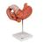 Human Stomach Model, 3 part - 3B Smart Anatomy, 1000303 [K16], Digestive System Models (Small)