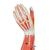 Muscle Arm Model, 3/4 Life-Size, 6 part - 3B Smart Anatomy, 1000015 [M10], Muscle Models (Small)