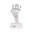 Hand Skeleton Model with Elastic Ligaments - 3B Smart Anatomy, 1013683 [M36], Arm and Hand Skeleton Models