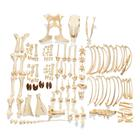 Bovine skeleton (Bos taurus), without horns, disarticulated,T300121w/oU