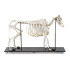 Bovine skeleton (Bos taurus), with horns, articulated,T300121w