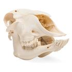 Domestic Sheep Skull (Ovis aries), Female, Specimen, 1021028 [T300181f], Biology Supplies