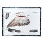 "Set of ""Pigeon Wings and Feathers (Columba palumbus)"", Specimen,T30033"