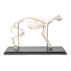 Cat Skeleton (Felis catus) in Glass Case, Flexibly Mounted,T30039