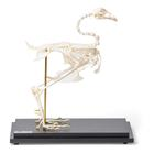 Pheasant skeleton (Phasianus colchicus), articulated, 1021030 [T300441], Veterinary