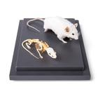 Mouse and Mouse Skeleton (Mus musculus) in Display Case, Specimens,T310011
