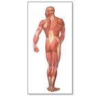 The Human Musculature Chart, rear, 4006516 [V2005U], Muscle