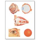 The Eye I Chart, Anatomy,V2011U