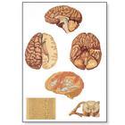 Human Central Nervous System Chart,V2034M