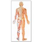 The Nervous System Chart, rear,V2038U