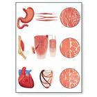 Muscle Tissue Chart, 4006551 [V2052U], Anatomical Charts