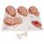 Labor Stages Model, 1001259 [VG393], Pregnancy Models (Small)