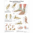 Foot and Joints of Foot Chart - Anatomy and Pathology, 4006662 [VR1176UU], Skeletal System