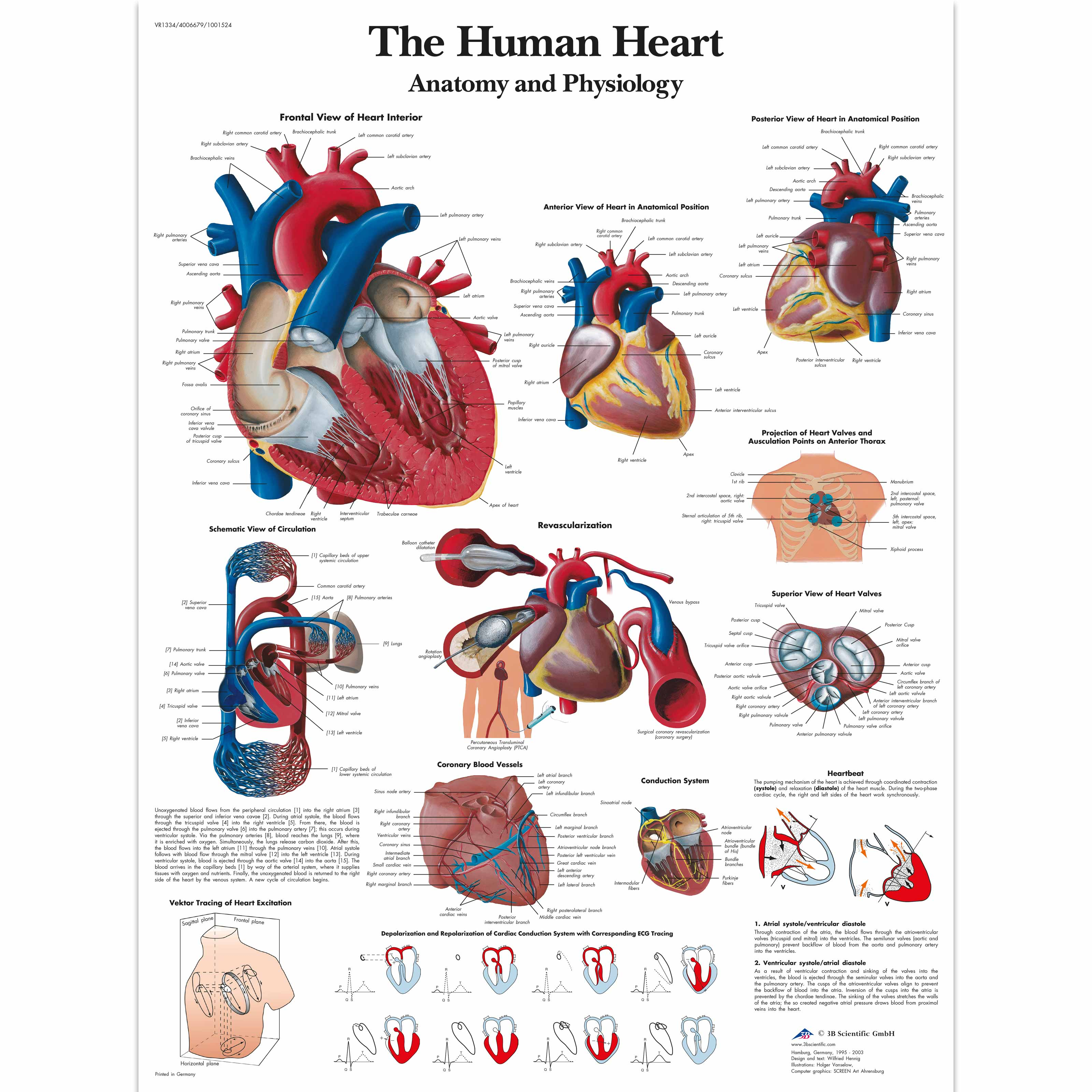 6266425 in addition Breathing And The Lungs Worksheet 6299294 also Circulatory System 2 further A highlighted blue and red human digestive and together with Peripheral Intravenous Catheters Market To Witness R4590026. on circulatory system order