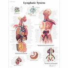 Lymphatic System Chart,VR1392L