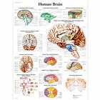 Human Brain Chart, 4006709 [VR1615UU], Brain and Nervous system