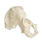 ORTHObones Premium Right Half Pelvis - Male,W19123