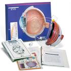 Eye Model Activity Set, 1005476 [W40207], Anatomy Activity Sets
